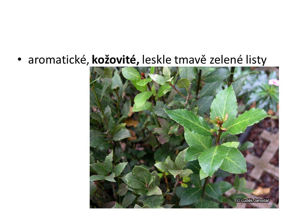 aromatické, kožovité, leskle tmavě zelené listy