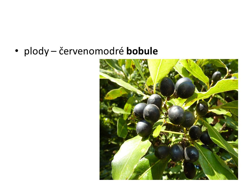 plody – červenomodré bobule