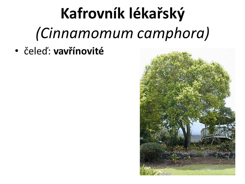 Kafrovník lékařský (Cinnamomum camphora)