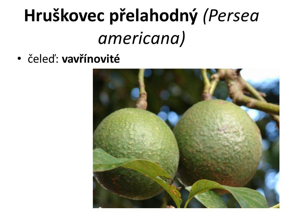 Hruškovec přelahodný (Persea americana)