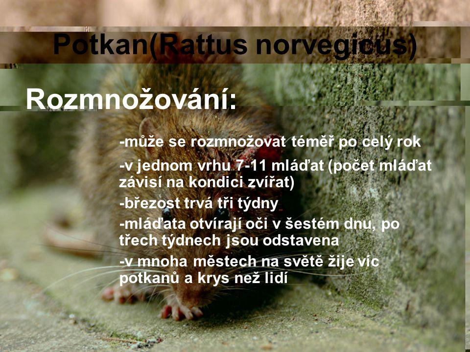 Potkan(Rattus norvegicus)
