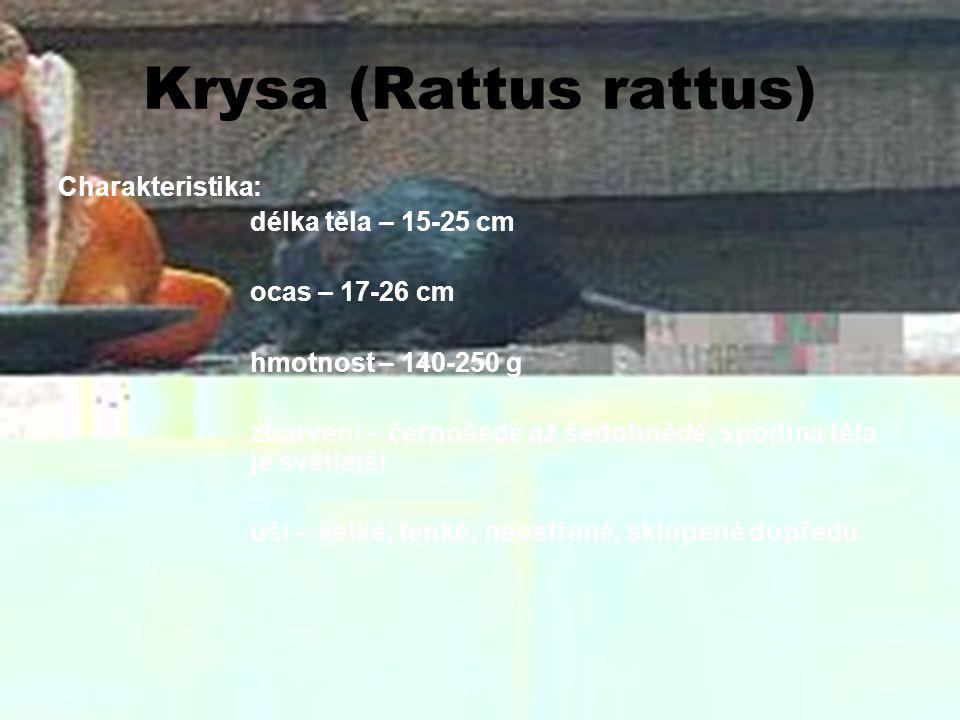 Krysa (Rattus rattus) Charakteristika: délka těla – 15-25 cm