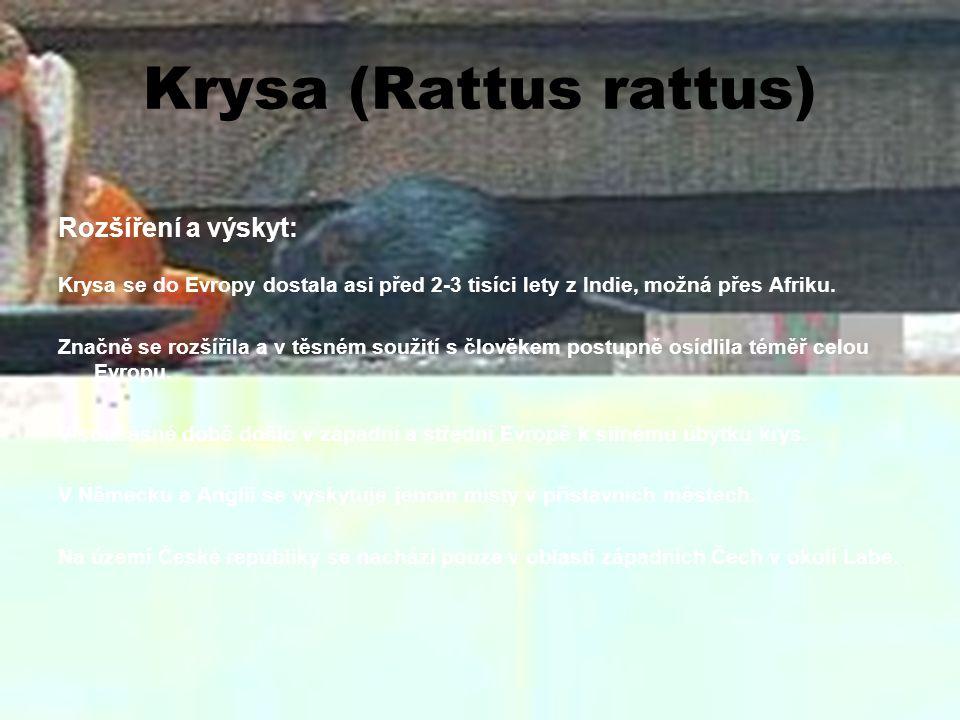 Krysa (Rattus rattus) Rozšíření a výskyt:
