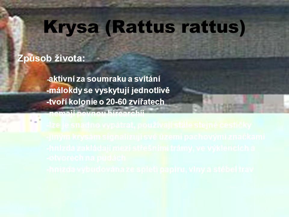 Krysa (Rattus rattus) Způsob života: -málokdy se vyskytují jednotlivě