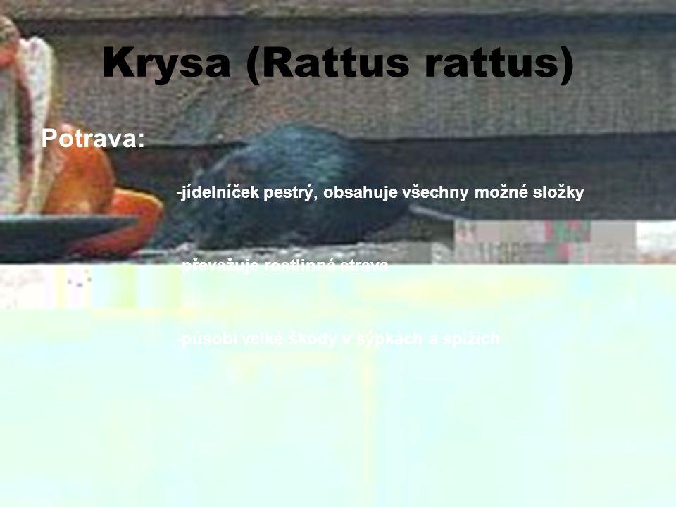 Krysa (Rattus rattus) Potrava: