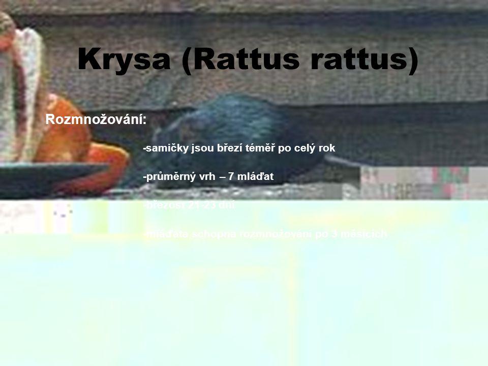 Krysa (Rattus rattus) Rozmnožování: -průměrný vrh – 7 mláďat