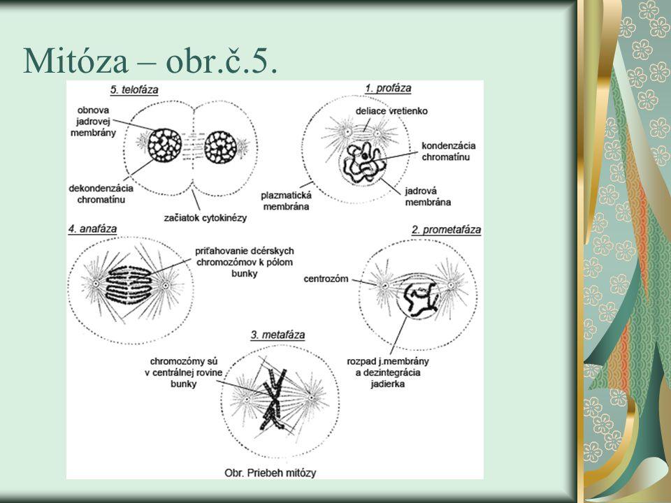 Mitóza – obr.č.5.