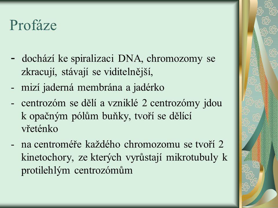 Profáze - dochází ke spiralizaci DNA, chromozomy se zkracují, stávají se viditelnější, mizí jaderná membrána a jadérko.