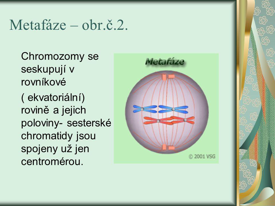 Metafáze – obr.č.2. Chromozomy se seskupují v rovníkové