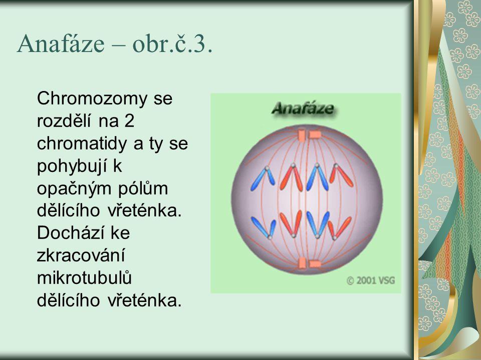 Anafáze – obr.č.3.