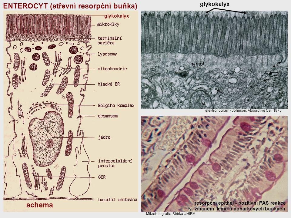 ENTEROCYT (střevní resorpční buňka)