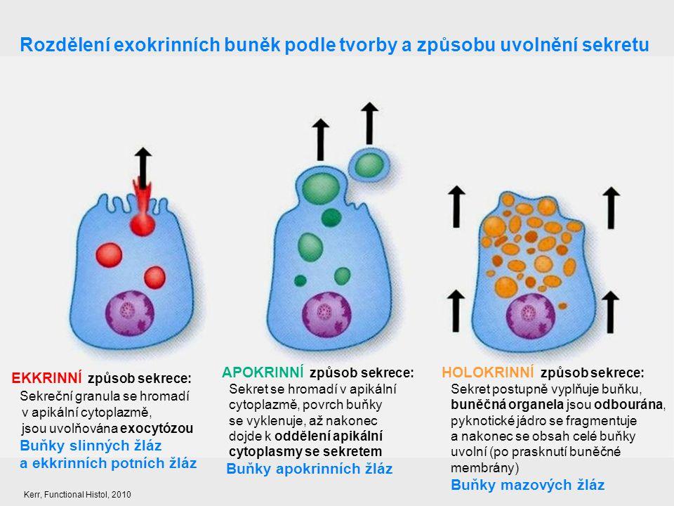 Rozdělení exokrinních buněk podle tvorby a způsobu uvolnění sekretu