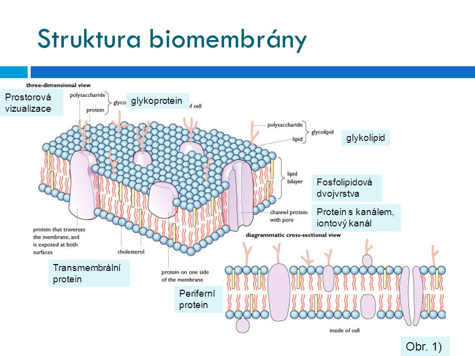 Struktura biomembrány