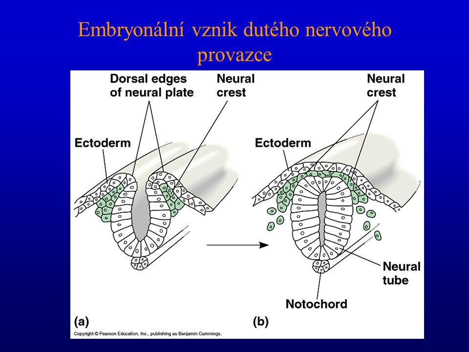 Embryonální vznik dutého nervového provazce