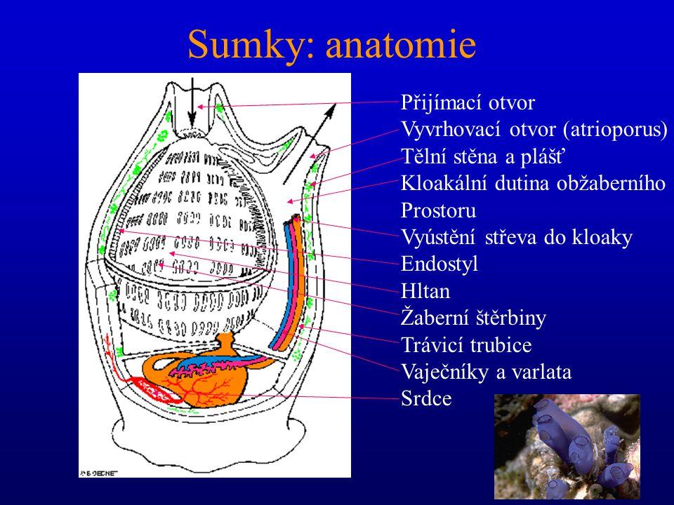 Sumky: anatomie Přijímací otvor Vyvrhovací otvor (atrioporus)