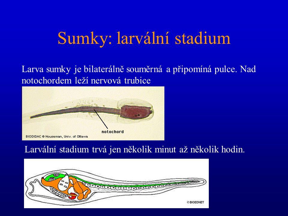 Sumky: larvální stadium