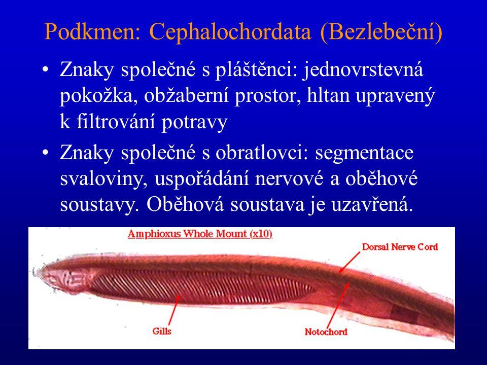 Podkmen: Cephalochordata (Bezlebeční)
