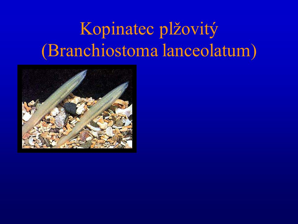 Kopinatec plžovitý (Branchiostoma lanceolatum)
