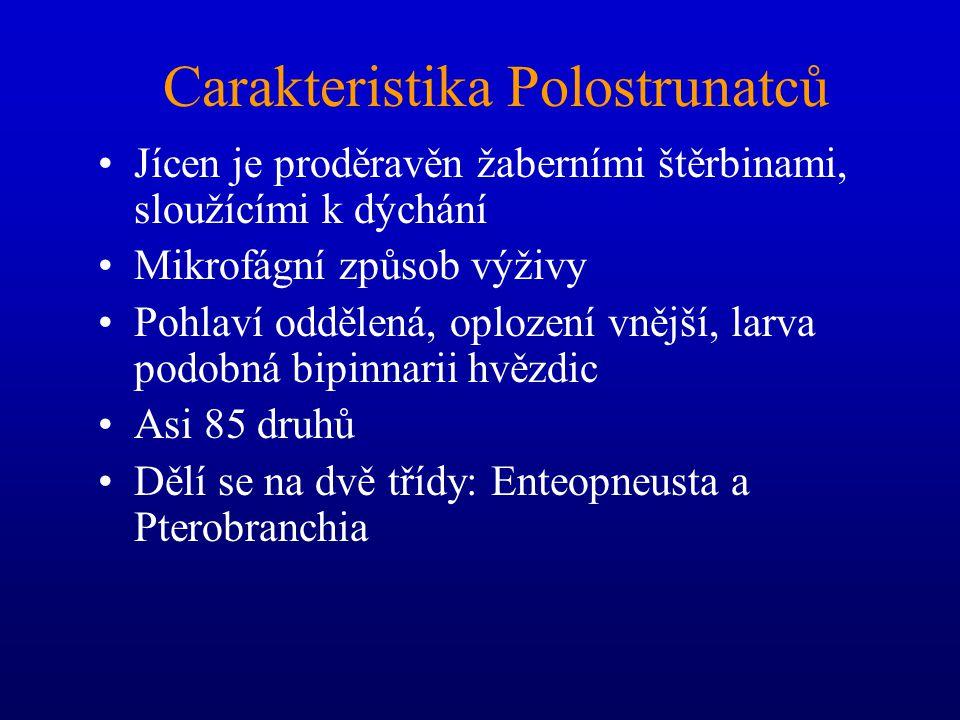 Carakteristika Polostrunatců