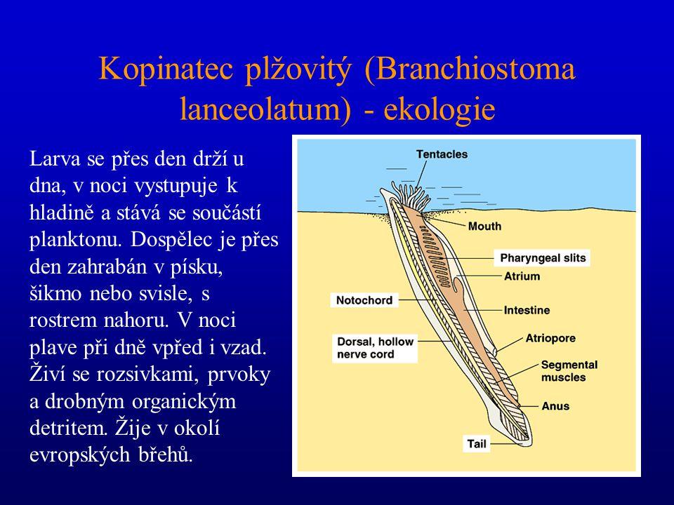 Kopinatec plžovitý (Branchiostoma lanceolatum) - ekologie