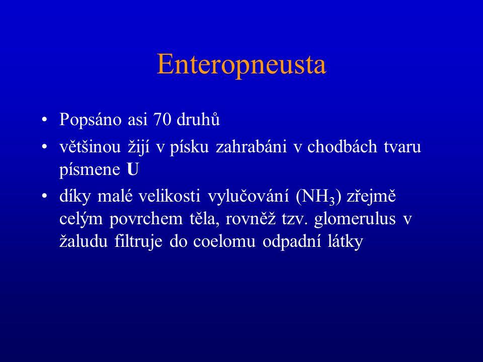 Enteropneusta Popsáno asi 70 druhů