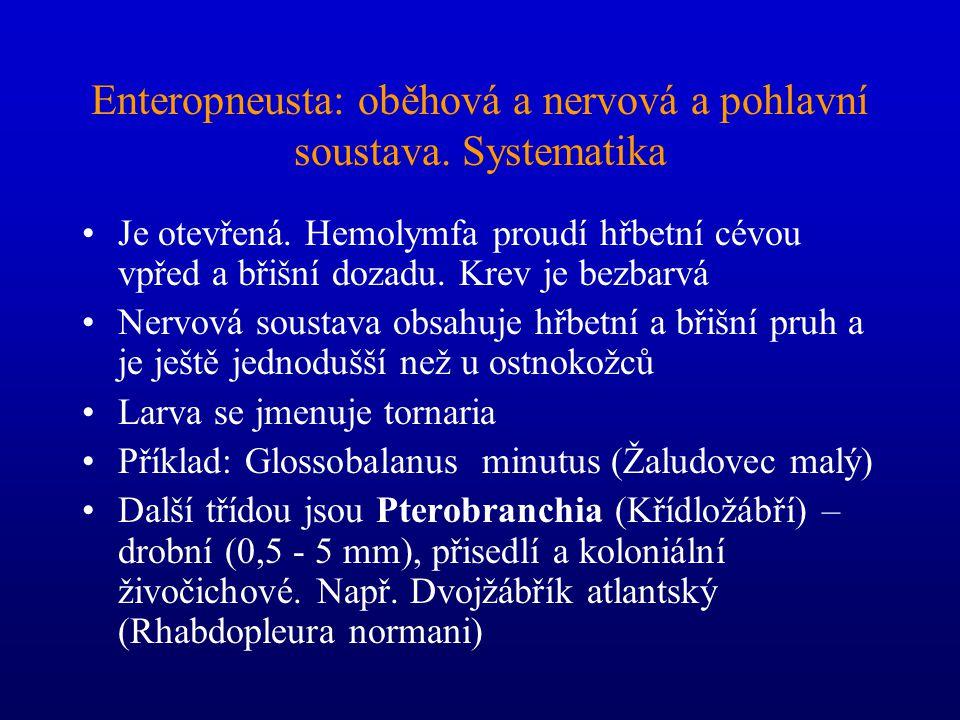 Enteropneusta: oběhová a nervová a pohlavní soustava. Systematika