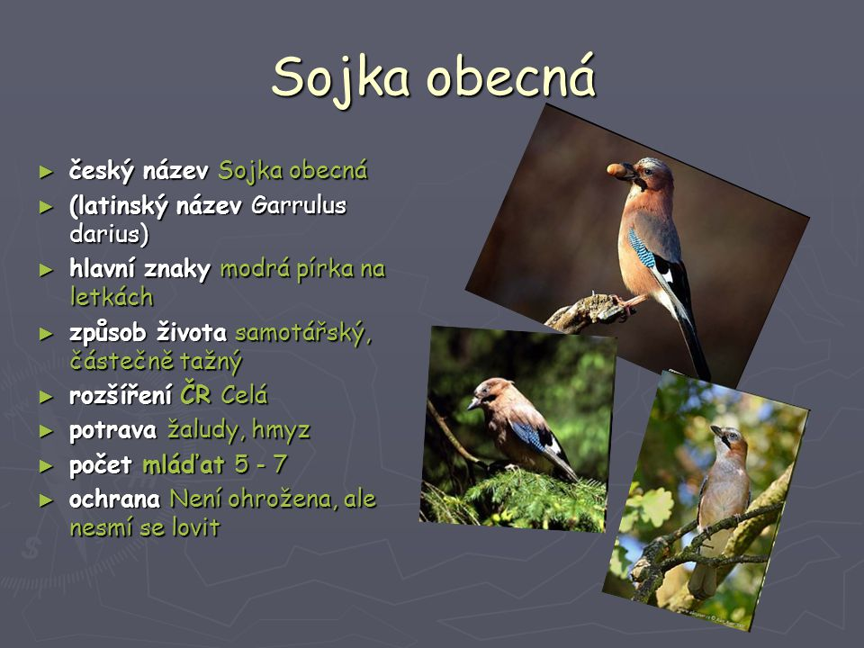 Sojka obecná český název Sojka obecná (latinský název Garrulus darius)