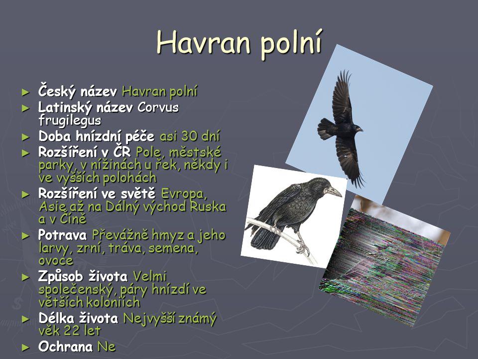 Havran polní Český název Havran polní Latinský název Corvus frugilegus