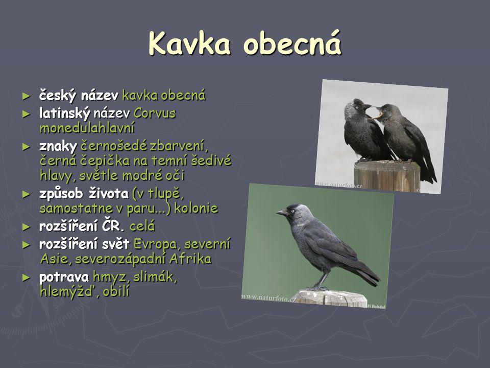 Kavka obecná český název kavka obecná
