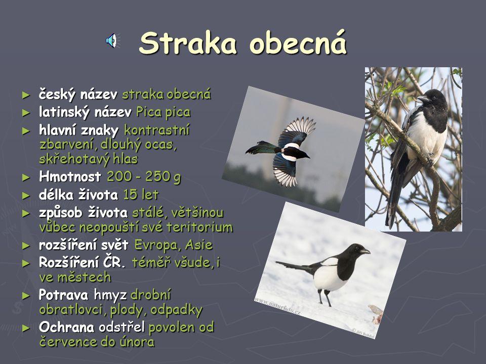 Straka obecná český název straka obecná latinský název Pica pica