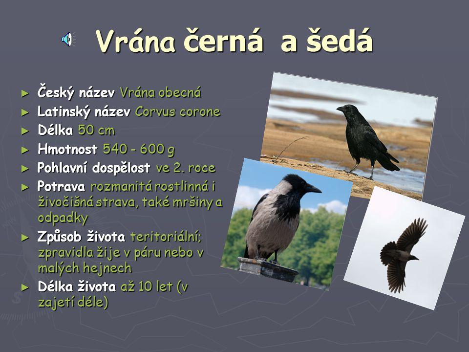 Vrána černá a šedá Český název Vrána obecná
