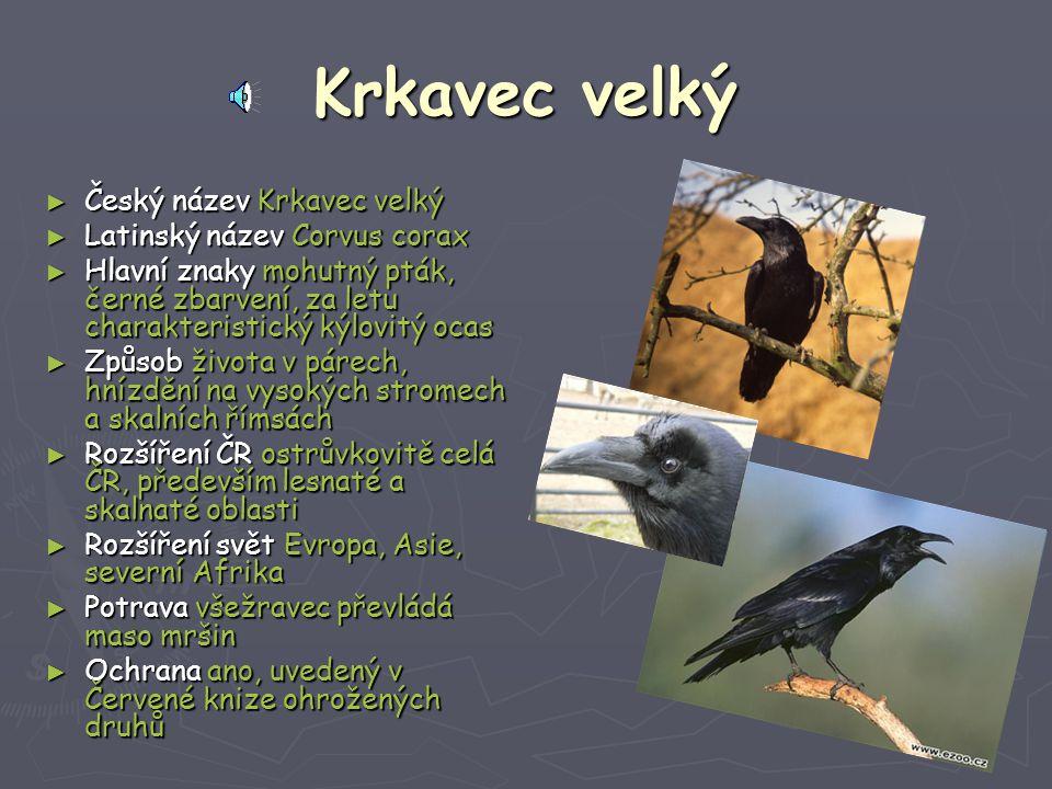 Krkavec velký Český název Krkavec velký Latinský název Corvus corax