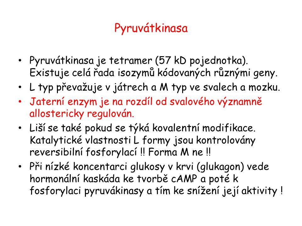 Pyruvátkinasa Pyruvátkinasa je tetramer (57 kD pojednotka). Existuje celá řada isozymů kódovaných různými geny.