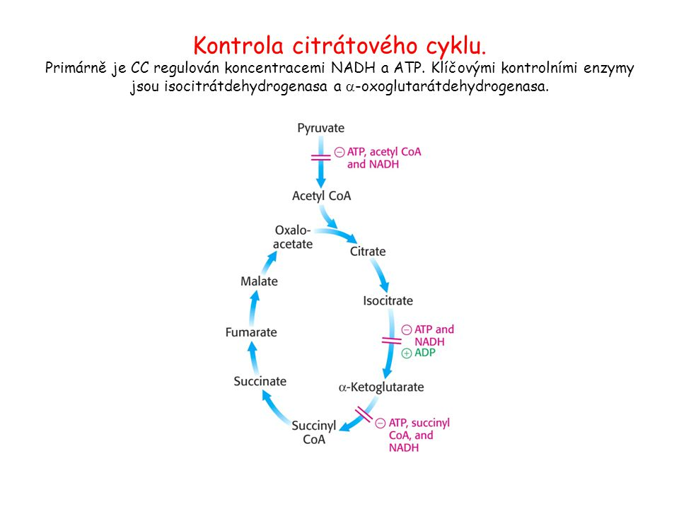 Kontrola citrátového cyklu