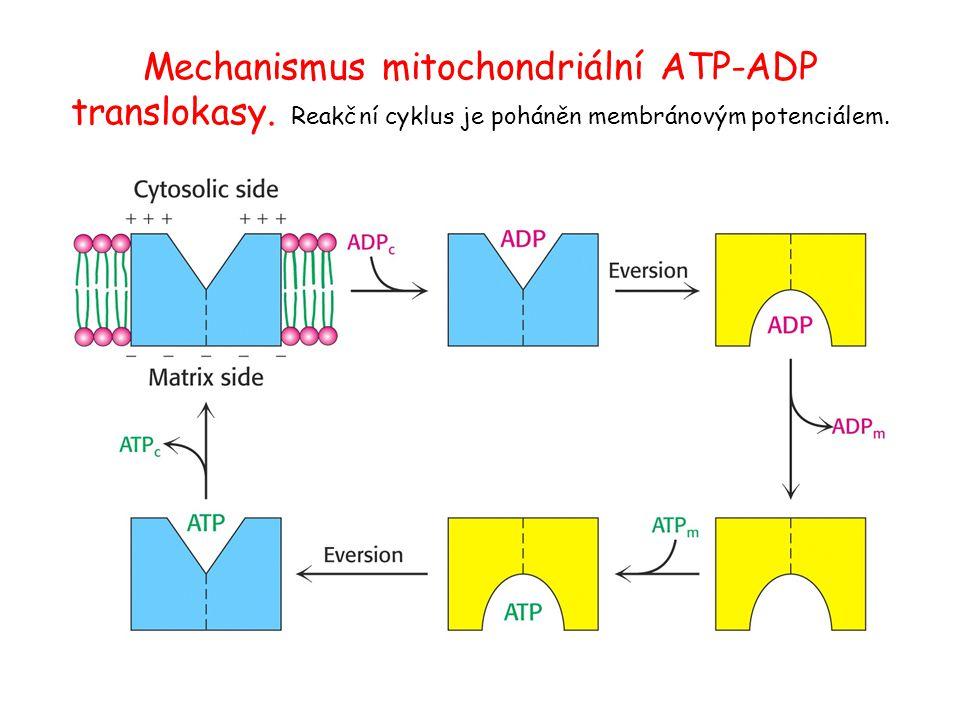 Mechanismus mitochondriální ATP-ADP translokasy