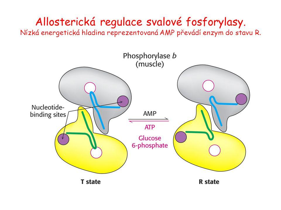 Allosterická regulace svalové fosforylasy