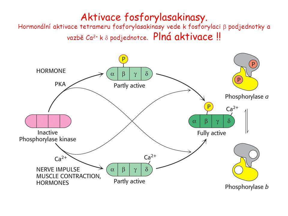 Aktivace fosforylasakinasy