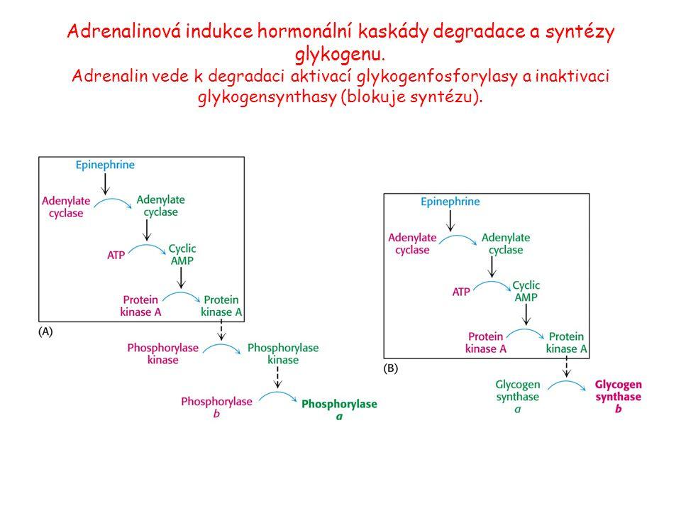 Adrenalinová indukce hormonální kaskády degradace a syntézy glykogenu