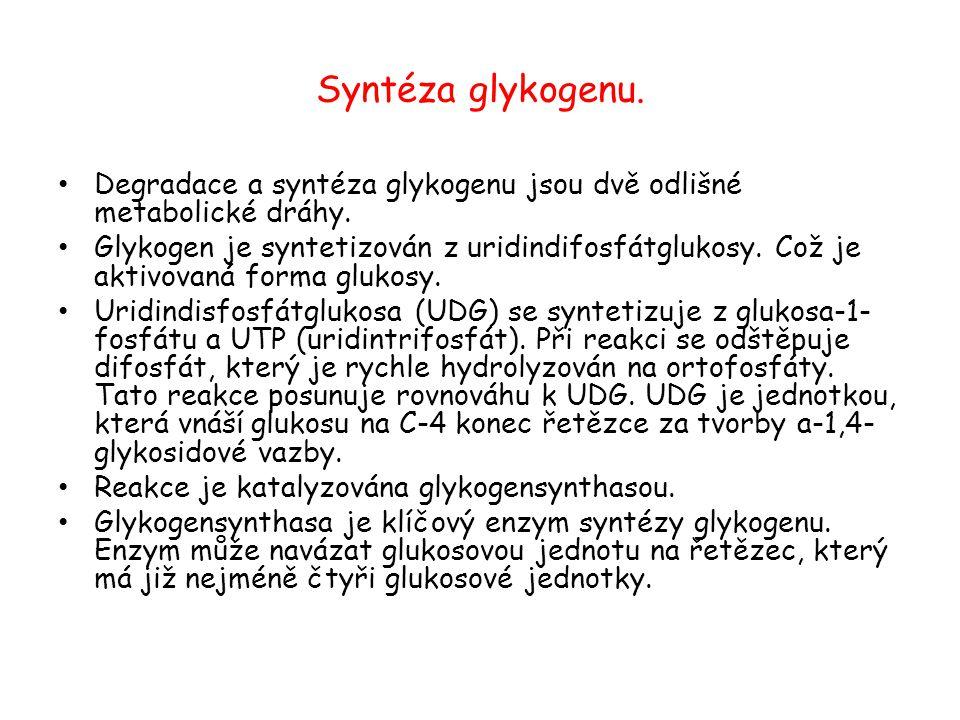 Syntéza glykogenu. Degradace a syntéza glykogenu jsou dvě odlišné metabolické dráhy.