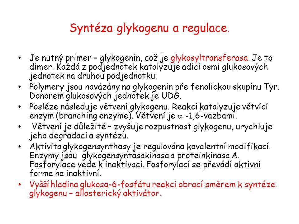 Syntéza glykogenu a regulace.