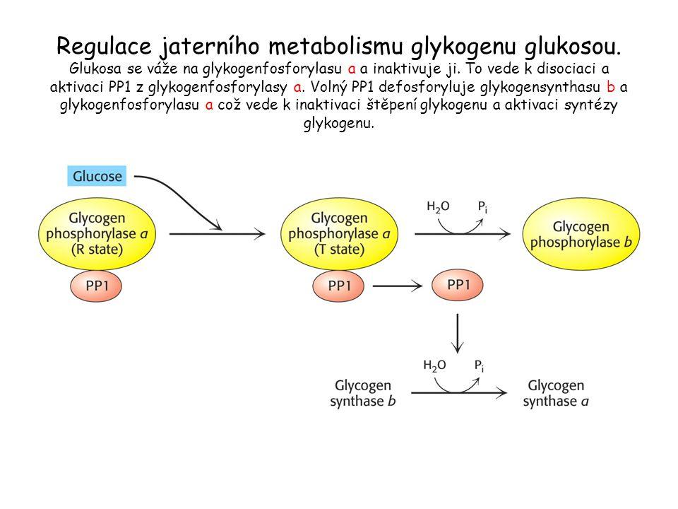 Regulace jaterního metabolismu glykogenu glukosou