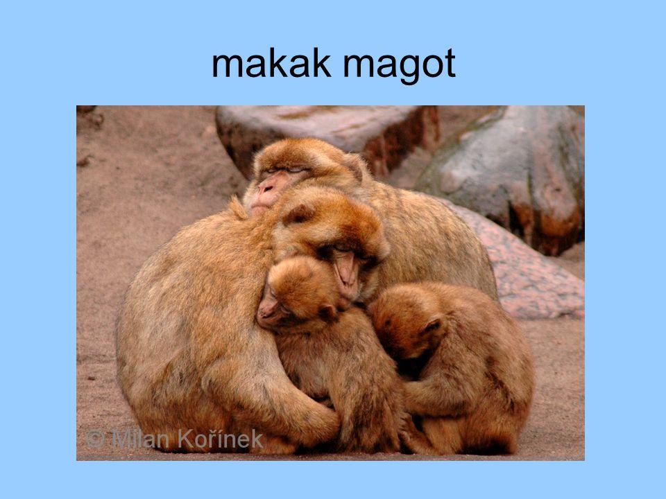 makak magot