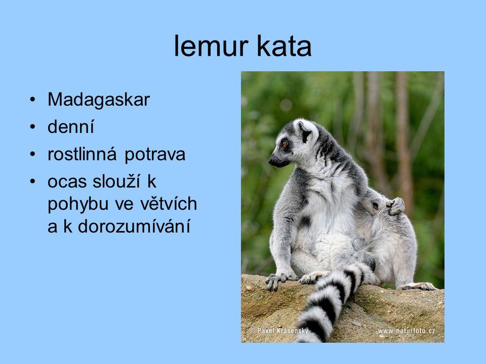 lemur kata Madagaskar denní rostlinná potrava