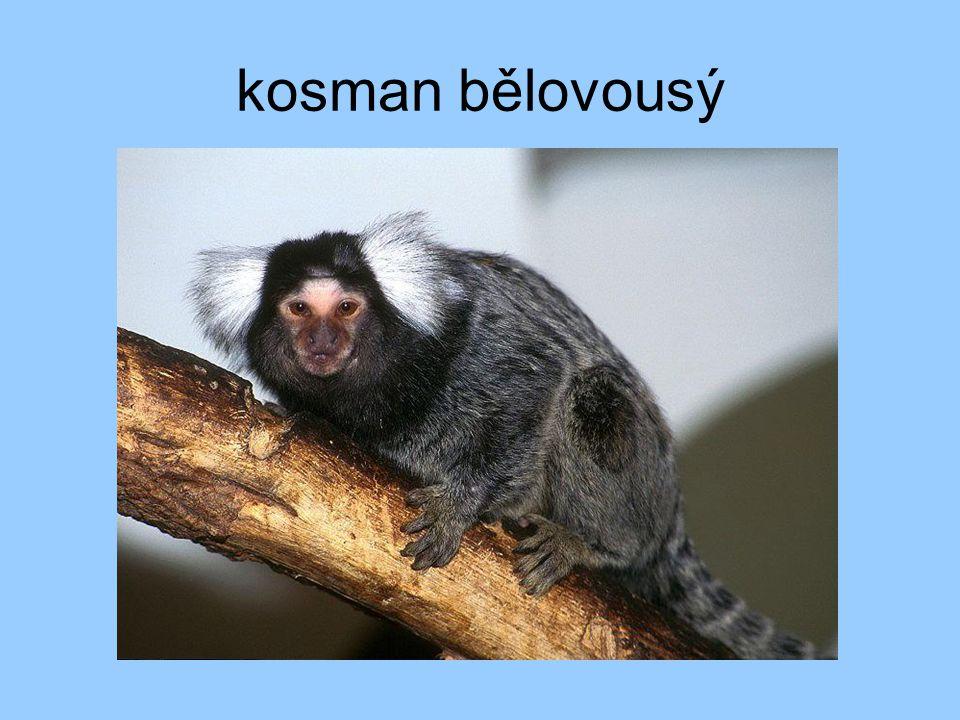 kosman bělovousý