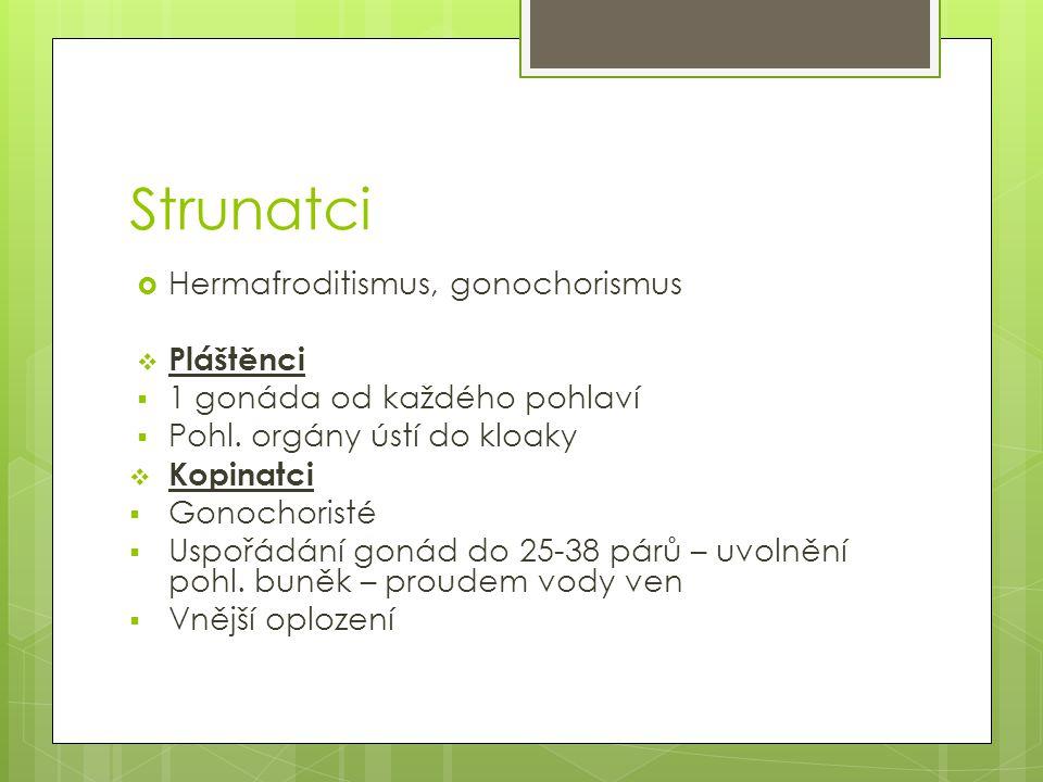 Strunatci Hermafroditismus, gonochorismus Pláštěnci
