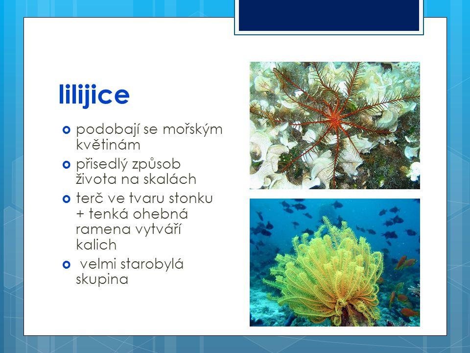 lilijice podobají se mořským květinám