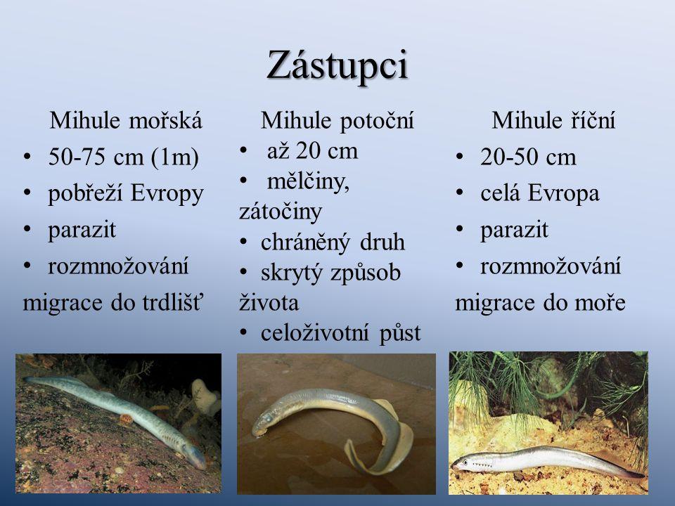 Zástupci Mihule mořská 50-75 cm (1m) pobřeží Evropy parazit