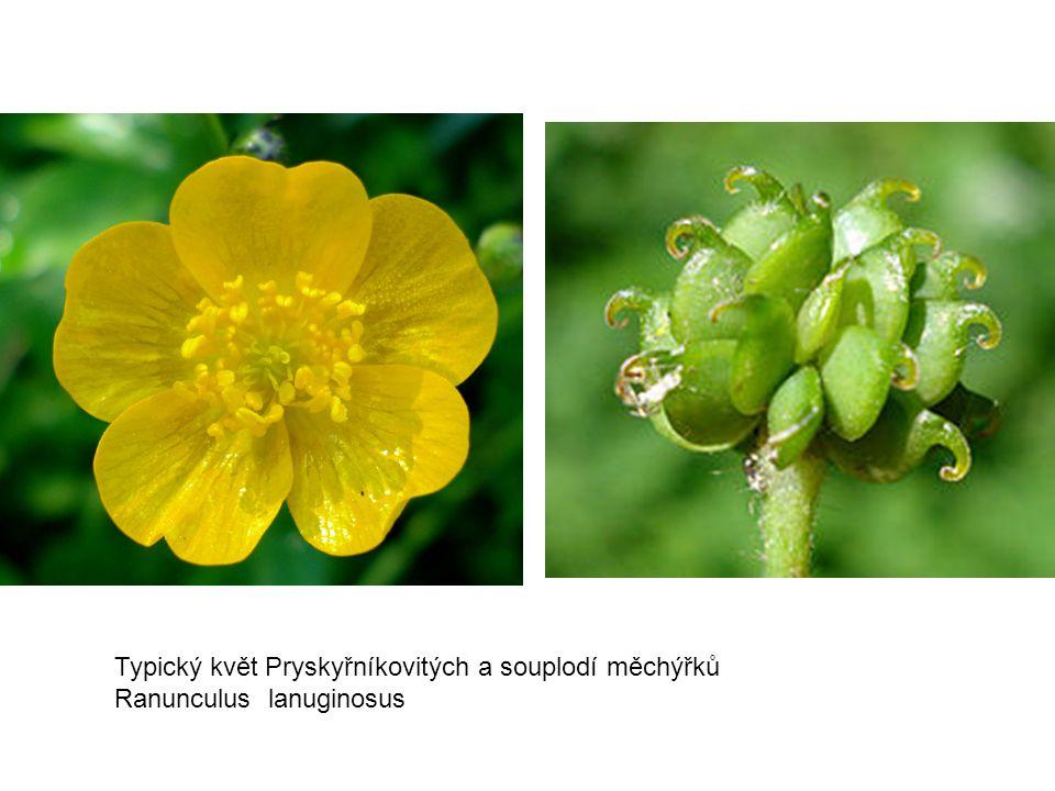 Typický květ Pryskyřníkovitých a souplodí měchýřků