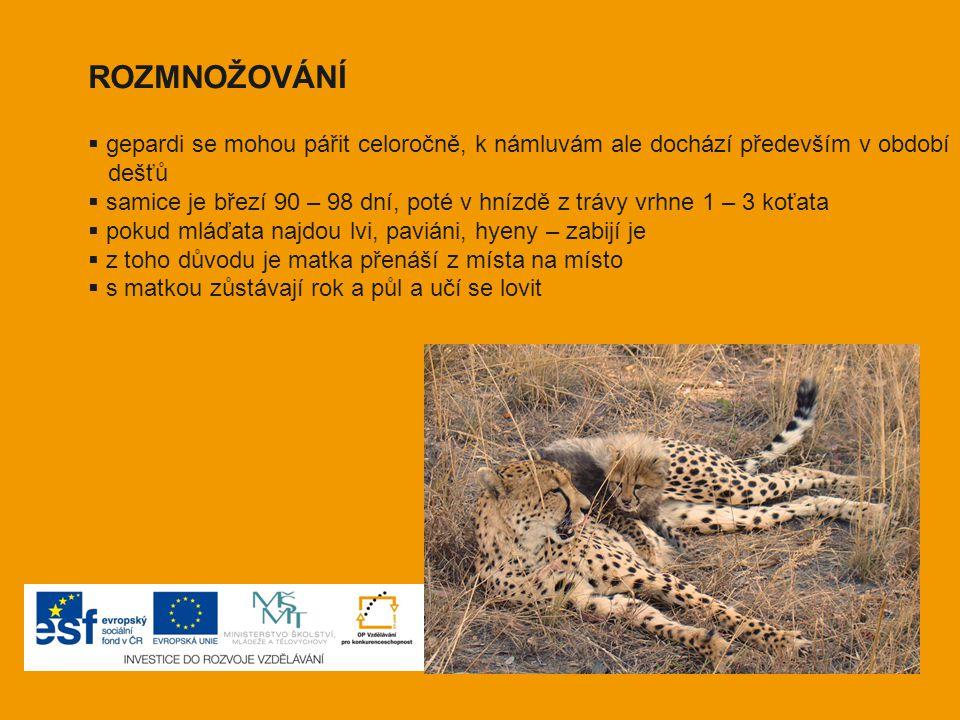 ROZMNOŽOVÁNÍ gepardi se mohou pářit celoročně, k námluvám ale dochází především v období. dešťů.