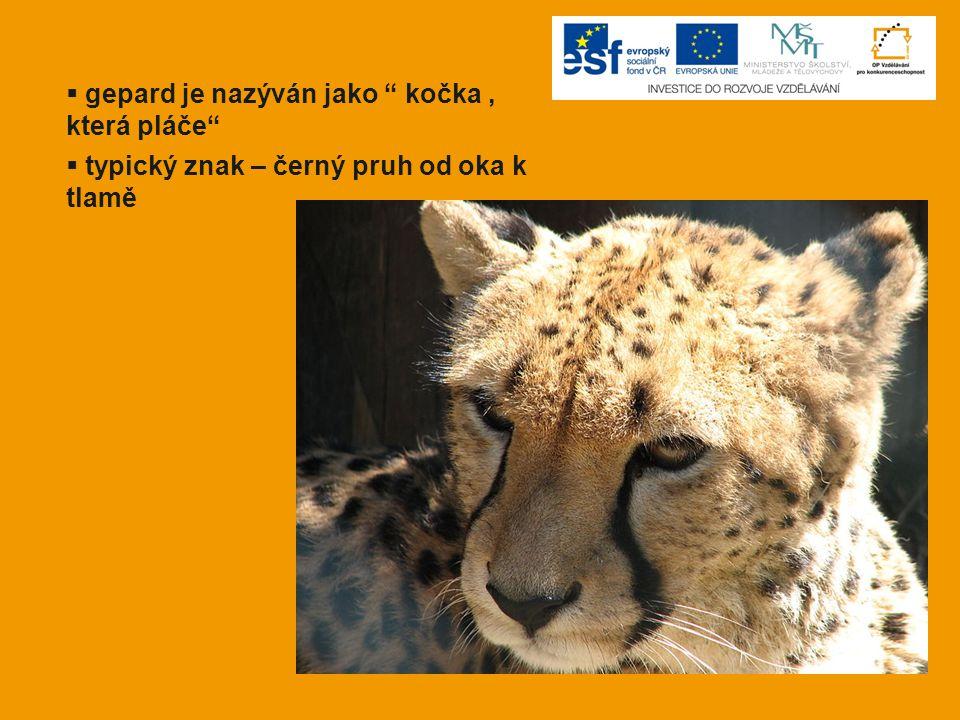 gepard je nazýván jako kočka , která pláče